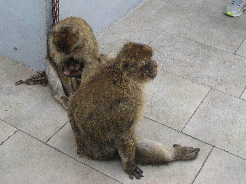 En av apene hadde en liten baby, og den var veldig populær blant alle de andre apene også. Alle skulle kose :)