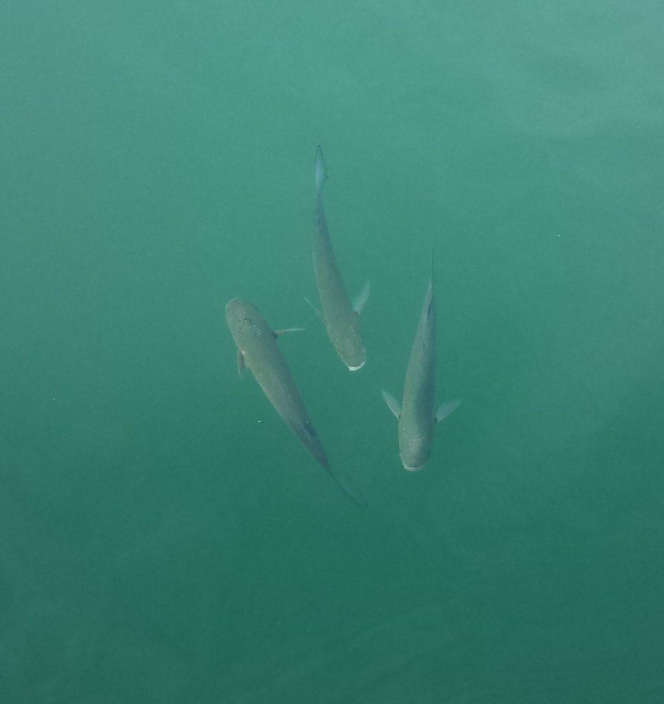 Det er fisk i bøtter og spann. Det er ikke lov å fiske her, så noen av dem er kjempestore.