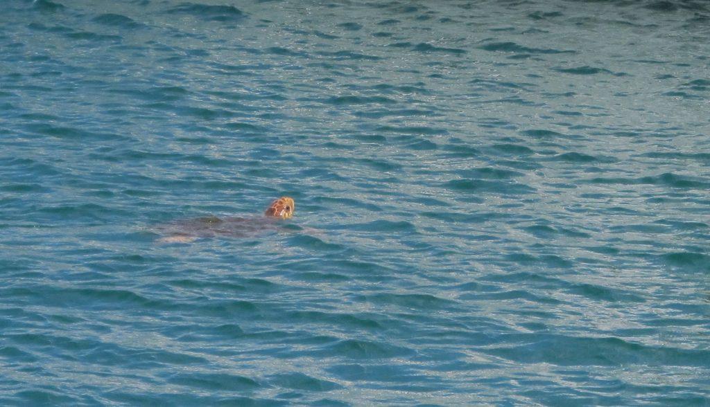 En stor skilpadde svømte rundt og inspiserte båtene.