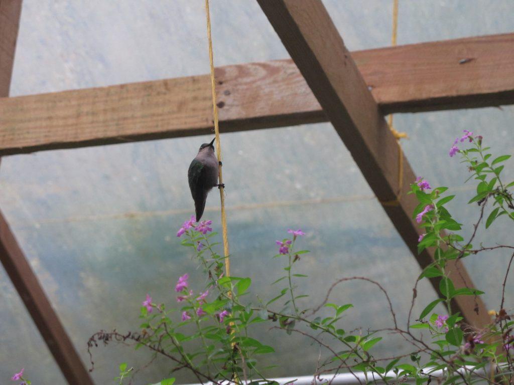 En kolibri i veksthuset. Denne var ganske stor, men det var andre som var pyttesmå. Nesten som humler.