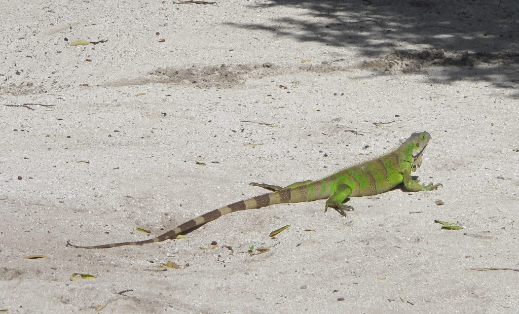 På veien møtte vi denne iguanen, og den lot seg villig fotografere.