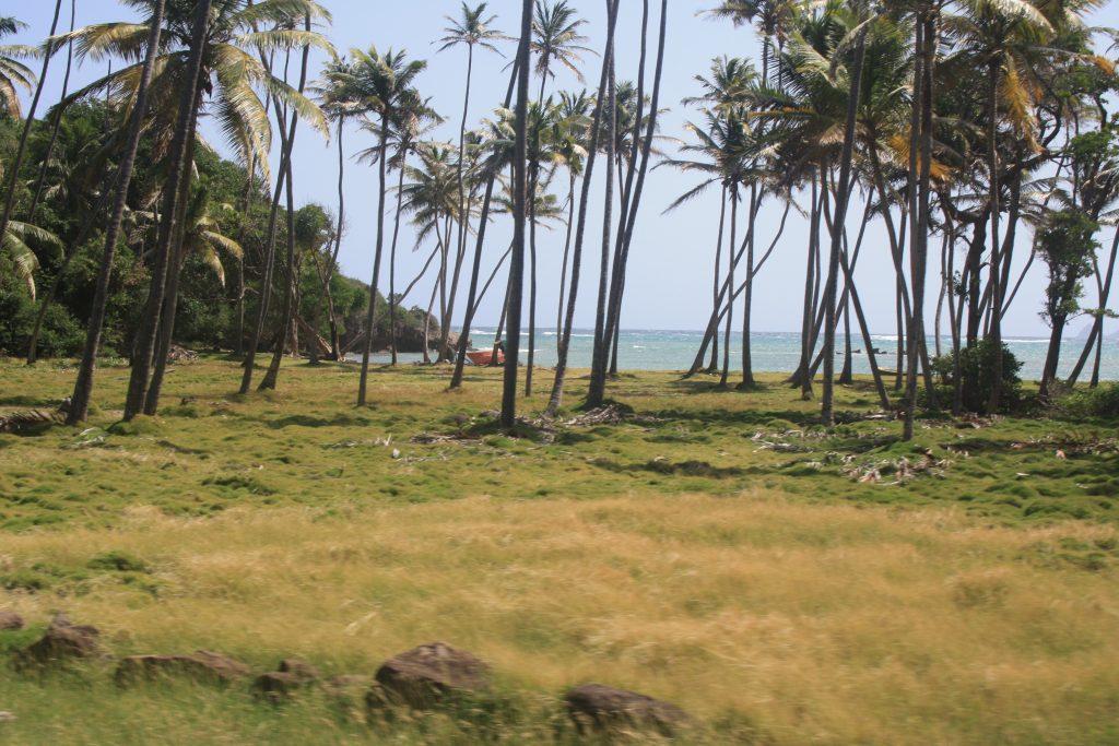 Palmeskog ved stranden.